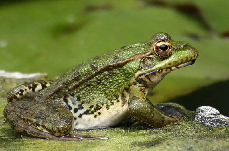 Frog and tadpole - photo#5